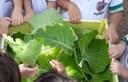 Colheita de vegetais da horta escolar